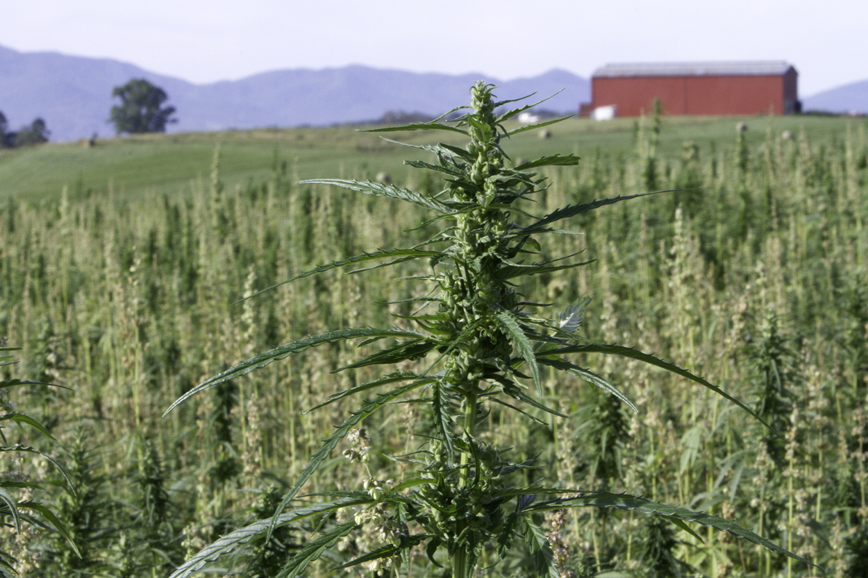 Hemp takes root in Tennessee
