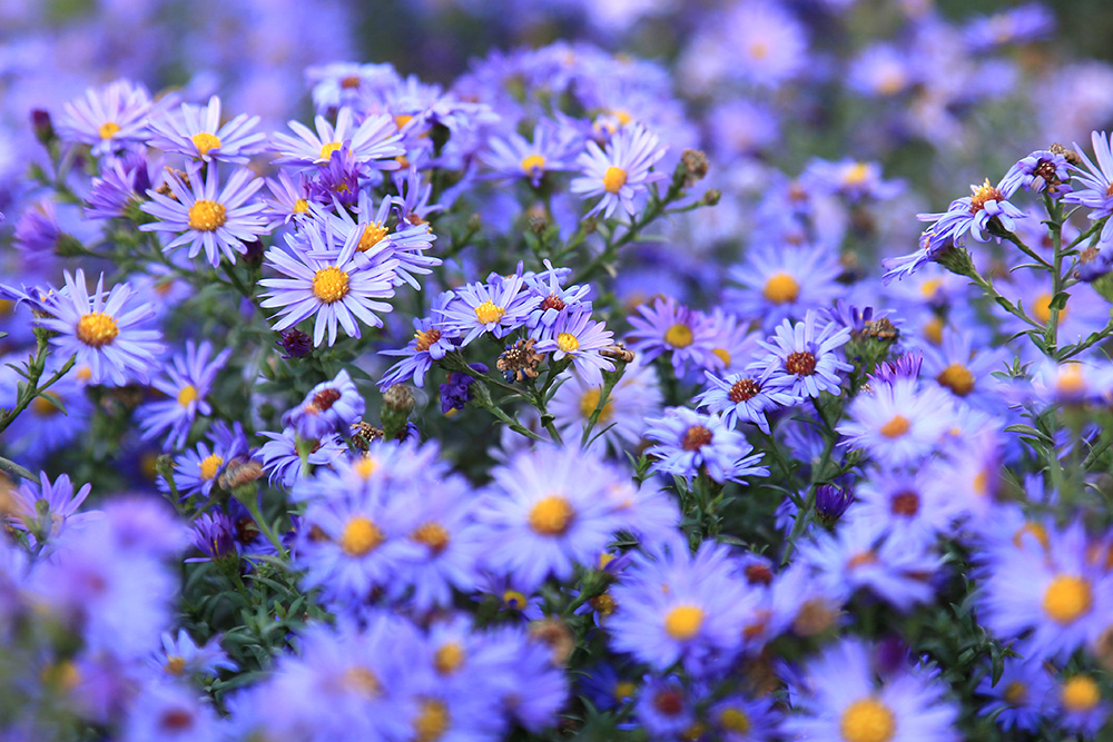 Purple Asters Wildflowers