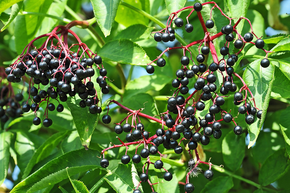 Some Ripe Elderberry on Branch