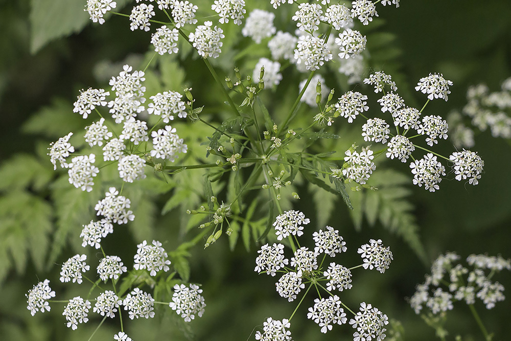 Inflorescence of a herb of Hemlock or Poison Hemlock