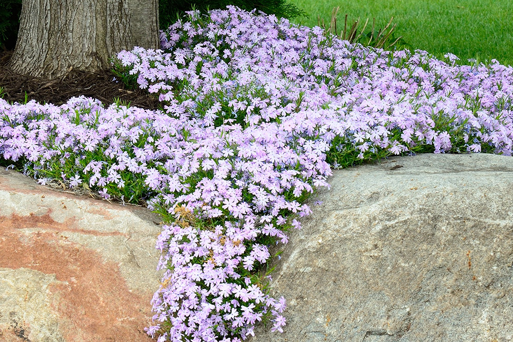 Creeping Phlox (Phlox subulata) Landscaping and Rock Retaining Wall