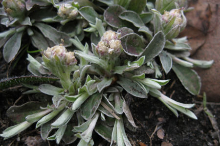Antennaria Neglecta Runners