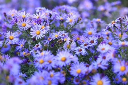 Purple Asters Wildflowers
