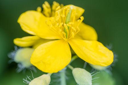 Flowers Celandine