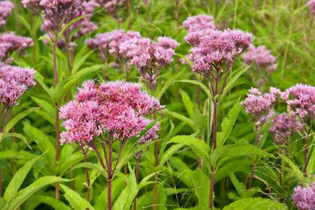 Joe Pye Weed Wild Flowers (Eutrochium)