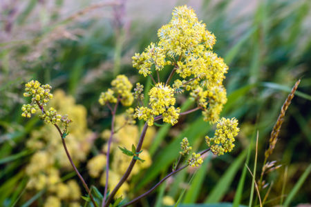 Blooming Yellow Meadow Rue