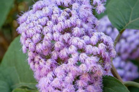 Interesting Purple Bloom of the Blue Mistflower (Conoclinium coelestinum)