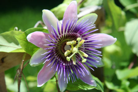 Purple Passion Flower in Full Bloom