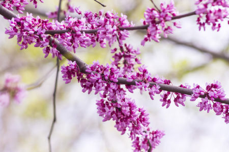 Eastern Redbud Tree Blooming in the Spring