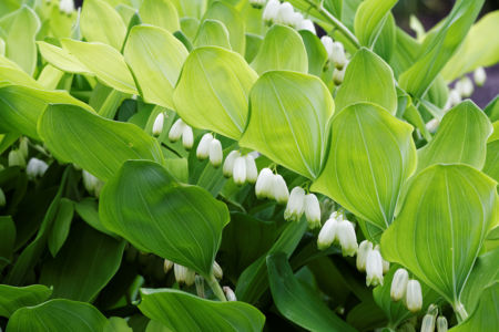 Flowering Plant of Polygonatum Multiflorum