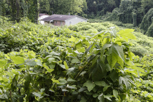 Kudzu chokes a section of the Williams Creek Urban Forest in East Knoxville. A herd of 23 goats have been hired to help clear the land of invasive plants. Photo by Clay Duda.