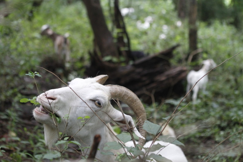 Goats eat weeds at Williams Creek Urban Forest in East Knoxville. Photo by Clay Duda.