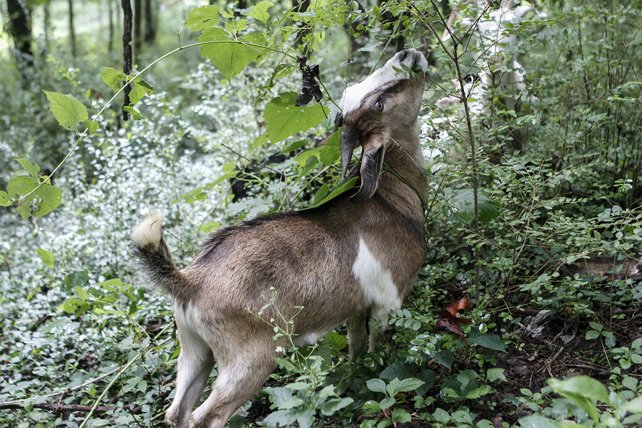 Goats will eat pretty much anything. Photo by Clay Duda.