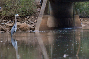 A great blue heron on Sinking Creek at Emory Church Road.