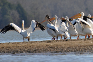 Pelicans are near Hiwassee Island.