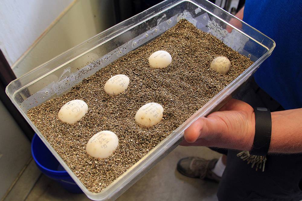 Malagasy tortise eggs are often chilled between incubation periods to mimic seasonal temperature changes back home. The eggs are carefully labeled in pencil and nestled in plastic tubs.